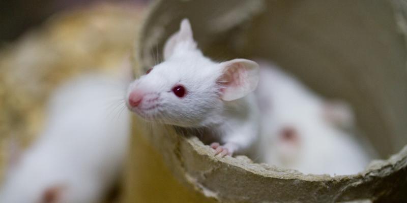 White rat inside cardboard. Interstate Pest Management serving Portland OR & Vancouver WA talks about rats.
