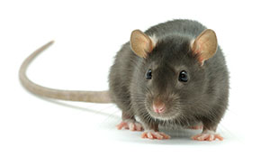 General Rodent Information in Portland OR- Vancouver - Longview - Kelso WA