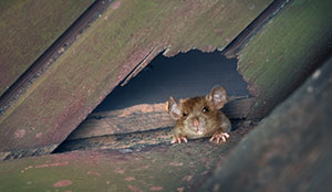 Signs You have a Rodent Infestation in Portland OR- Vancouver - Longview - Kelso WA