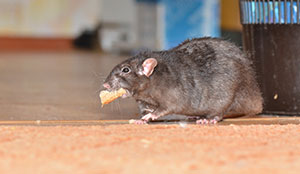 the dangers of rodents in Portland OR- Vancouver - Longview - Kelso WA