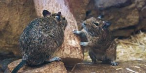 Two rodents outside. Interstate Pest Management serving Portland OR & Vancouver WA talks about What To Do If You Have A Rodent Problem.