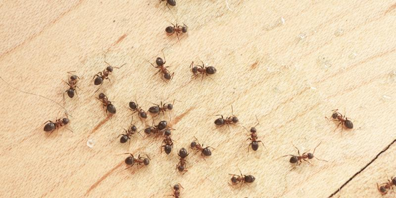 Ants in kitchen. Interstate Pest Management serving Portland OR & Vancouver WA talks about odorous house ants.