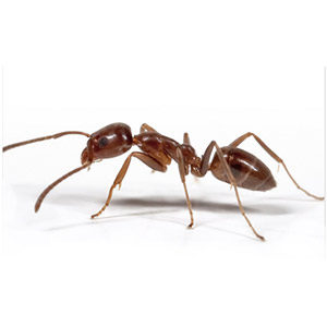 Close up of Argentine Ant. Interstate Pest Management serving Portland OR & Vancouver WA talks about 8 Facts Wikipedia Won't Tell You about Argentine Ants.