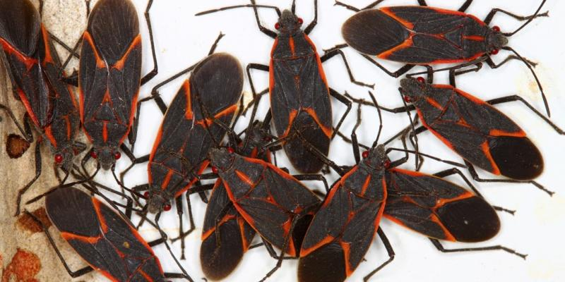 Group of boxelder bugs. Interstate Pest Management serving Portland OR & Vancouver WA talks about box elder bugs and how to not let them get comfortable.