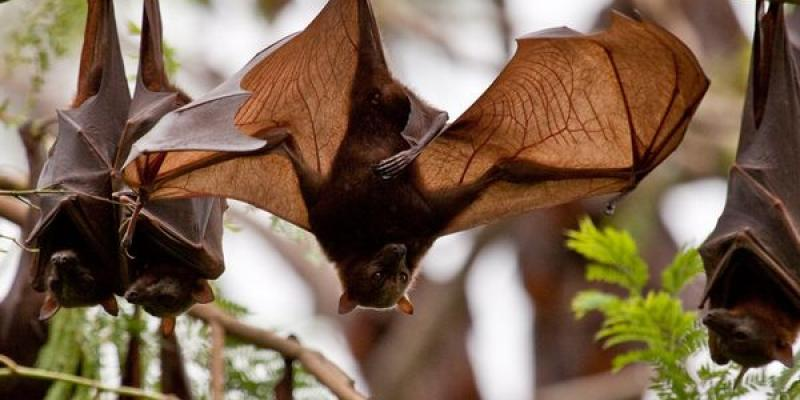 Bats in a tree. Interstate Pest Management serving Portland OR & Vancouver WA talks about how to keep bats outdoors.