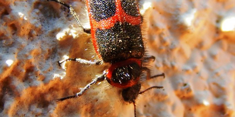 Up close image of a box elder bug. Interstate Pest Management serving Portland OR & Vancouver WA talks about six freaky facts about box elder bugs.