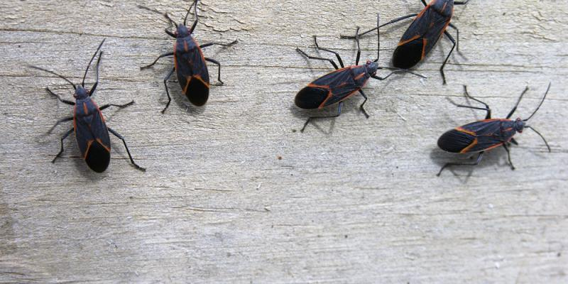 Group of boxelder bugs. Interstate Pest Management serving Portland OR & Vancouver WA talks about pests common to the Pacific Northwest.