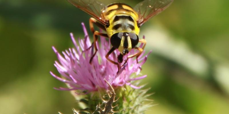 UP close image of a bee on a flower. Interstate Pest Management talks about bees and wasps.