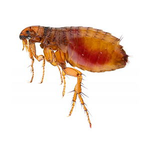 Close up of a flea. Interstate Pest Management serving Portland OR & Vancouver WA talks about 8 Facts Wikipedia Won't Tell You about fleas.