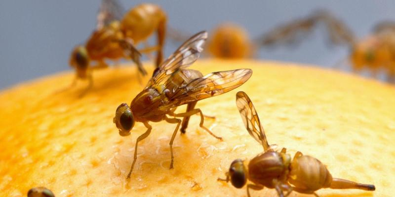 Flies on an orange. Interstate Pest Management serving Portland OR & Vancouver WA talks about 5 tips for getting rid of fruit flies.