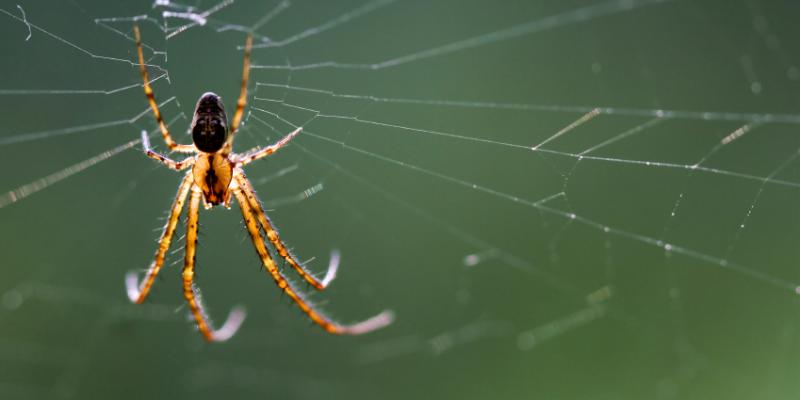 Spider on a web. Interstate Pest Management serving Portland OR & Vancouver WA talks about the funnel weaver spider and hobo spider.