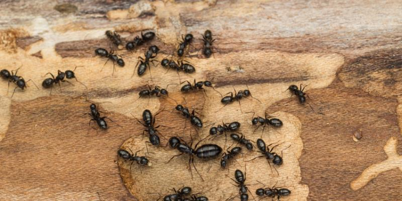 Carpenter ants on a piece of wood. Interstate Pest Management serving Portland OR & Vancouver WA talks about carpenter ant prevention tips.