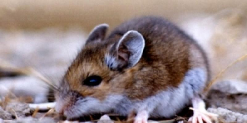 Up close image of deer mouse. Interstate Pest Management serving Portland OR & Vancouver WA talks about deer mice for Christmas.