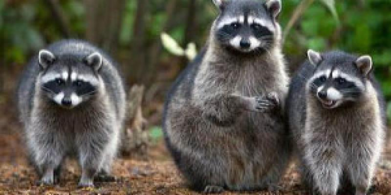 Three  outdoors. Interstate Pest Management serving Portland OR & Vancouver WA talks about raccoon infestations and how to prevent them.