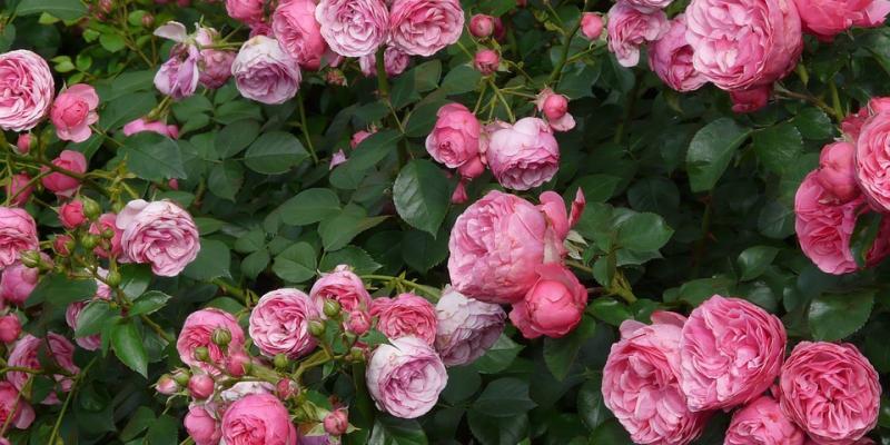 Up close image of pink roses. Interstate Pest Management serving Portland OR & Vancouver WA talks about Portland Rose Festival's Grand Floral Parade.
