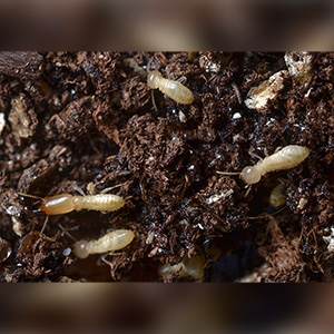 Close up of Subterranean Termites. Interstate Pest Management serving Portland OR & Vancouver WA talks about 8 Facts Wikipedia Won't Tell You about Termites.