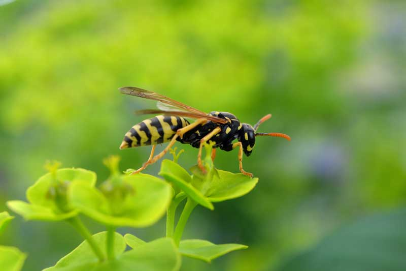 Bees, Wasps, & Hornets Exterminators - Control - Removal in Vancovuer WA and Portland OR