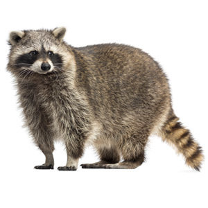 Raccoon on white background. Interstate Pest Management, serving Portland OR & Vancouver WA talks about raccoons indentification and information.