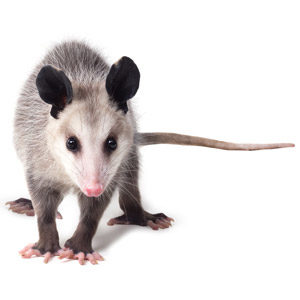 Opossum on white background. Interstate Pest Management serving Portland OR & Vancouver WA talks about opossums identification and information