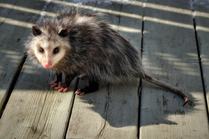Opossum standing on a deck. Interstate Pest Management, serving Portland OR and Vancouver WA provides opossum removal services.