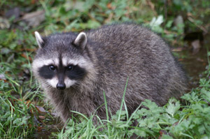 Raccoon in the wild. Interstate Pest Management, serving Portland OR and Vancouver WA provides safe raccoon trapping and removal services.