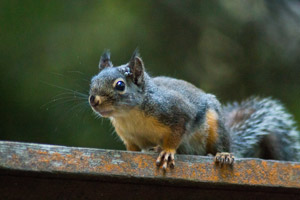 Up close look at a squirrel. Interstate Pest Management, serving Portland OR and Vancouver WA provides safe and reliable squirrel trapping and removal services.