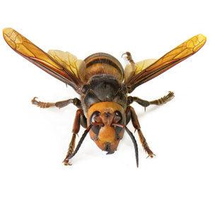 Asian Giant Hornet - murder hornet described by Interstate Pest Management in Portland OR & Vancouver WA