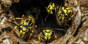 Interstate Pest yellowjacket removal